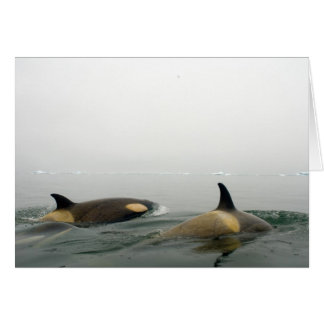 killer whales (orcas), Orcinus orca, pod 2 Greeting Card
