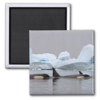 killer whales (orcas), Orcinus orca, pod 2 Inch Square Magnet