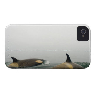 killer whales (orcas), Orcinus orca, pod 2 iPhone 4 Case
