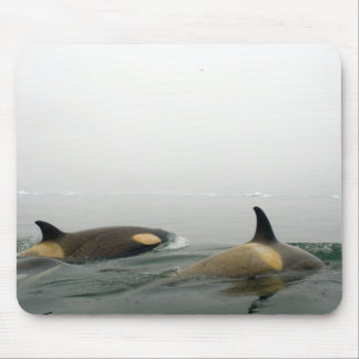 killer whales (orcas), Orcinus orca, pod 2 Mouse Pad