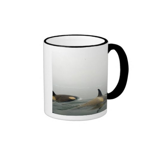 killer whales (orcas), Orcinus orca, pod 2 Coffee Mugs
