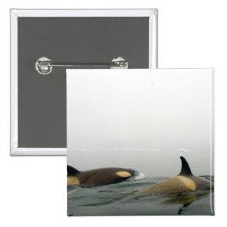 killer whales (orcas), Orcinus orca, pod 2 Pinback Button
