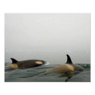 killer whales (orcas), Orcinus orca, pod 2 Poster