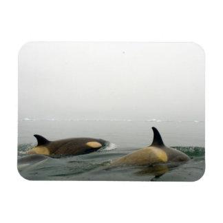 killer whales (orcas), Orcinus orca, pod 2 Rectangle Magnet