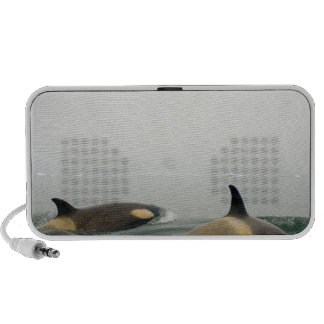killer whales (orcas), Orcinus orca, pod 2 Travelling Speaker