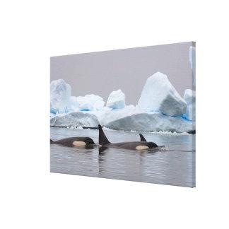 killer whales (orcas), Orcinus orca, pod Canvas Print