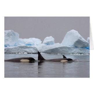 killer whales (orcas), Orcinus orca, pod Card