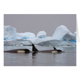 killer whales (orcas), Orcinus orca, pod Greeting Card