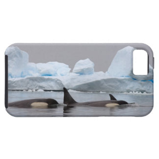killer whales (orcas), Orcinus orca, pod iPhone 5 Case