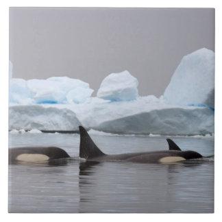 killer whales (orcas), Orcinus orca, pod Ceramic Tile