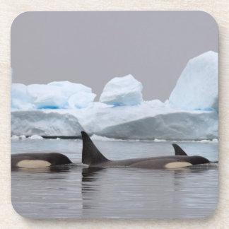 killer whales (orcas), Orcinus orca, pod Drink Coaster