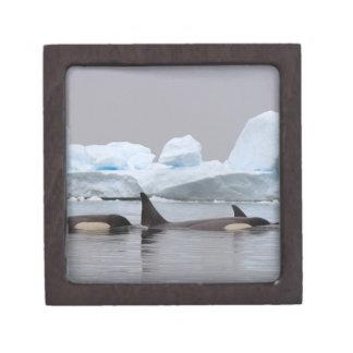 killer whales (orcas), Orcinus orca, pod Gift Box