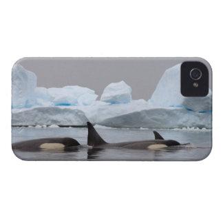 killer whales (orcas), Orcinus orca, pod iPhone 4 Case-Mate Case