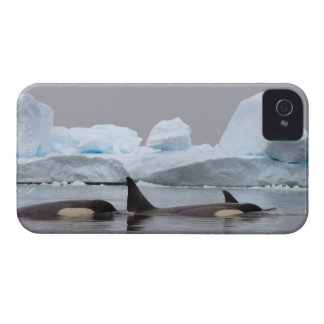 killer whales (orcas), Orcinus orca, pod iPhone 4 Cover