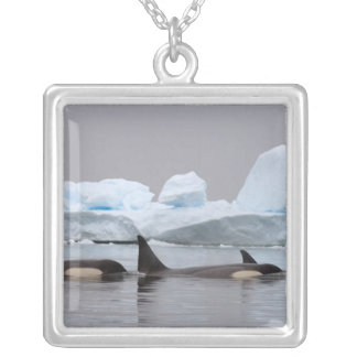 killer whales (orcas), Orcinus orca, pod Jewelry