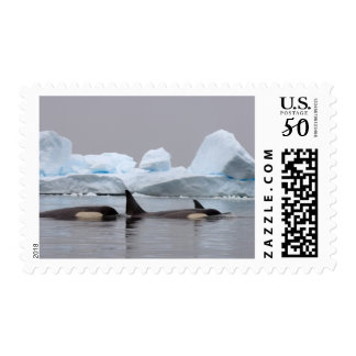 killer whales (orcas), Orcinus orca, pod Postage