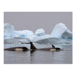 killer whales (orcas), Orcinus orca, pod Postcard