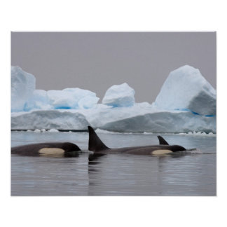 killer whales (orcas), Orcinus orca, pod Poster