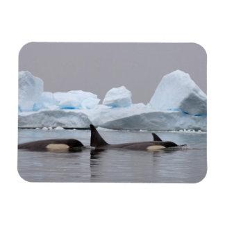 killer whales (orcas), Orcinus orca, pod Rectangular Photo Magnet