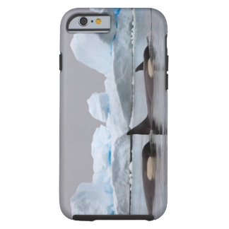 killer whales (orcas), Orcinus orca, pod Tough iPhone 6 Case
