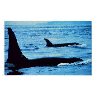 Killer Whales Posters