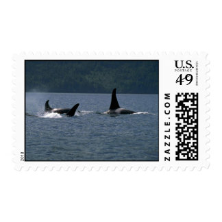 Killer Whales swimming at surface Stamps