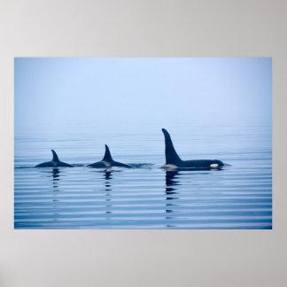 killerwhale de la isla de Vancouver Póster
