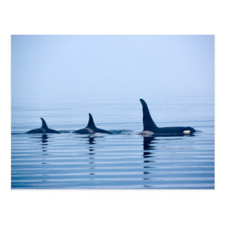 killerwhale or Orca of Vancouver Island Postcard