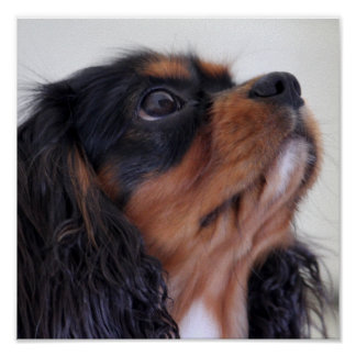 King Charles Cavalier Spaniel Puppy Poster