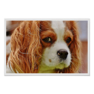 King Charles Spaniel Face Poster