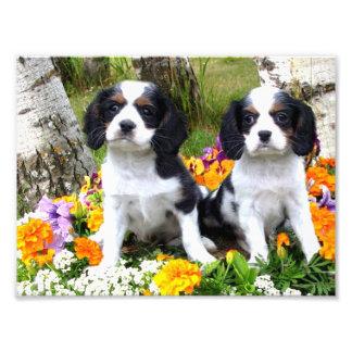 King Charles Spaniel puppies Photo