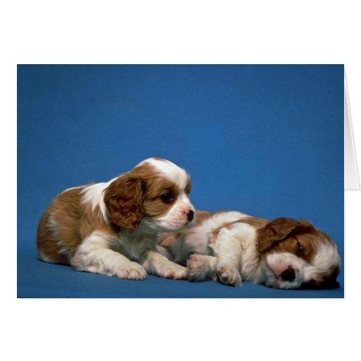 King Charles Spaniel pups Card