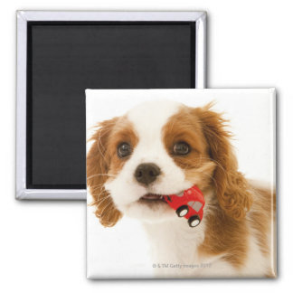 King Charles Spaniel with red car in her mouth. Fridge Magnet