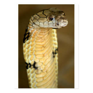 king cobra postcard