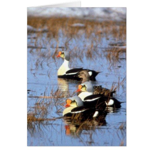King Eider ducks Card