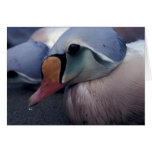 king eider male note card