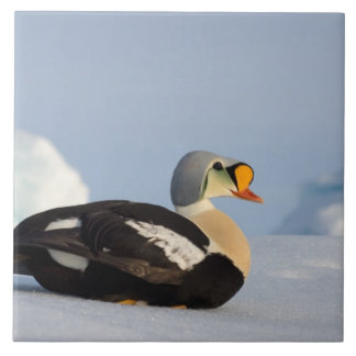 king eider, Somateria spectabilis, on jumbled Tile