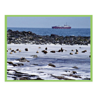 King Eiders oiled with freighter Postcard