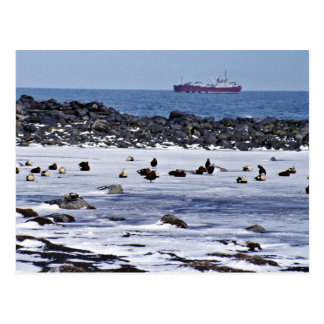 King Eiders oiled with freighter Post Card