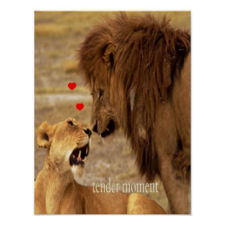 King lion & his lioness, tender moment  poster