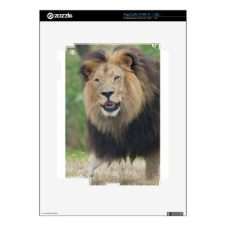 King of the Beasts Fierce African Lion walking Skins For iPad 2
