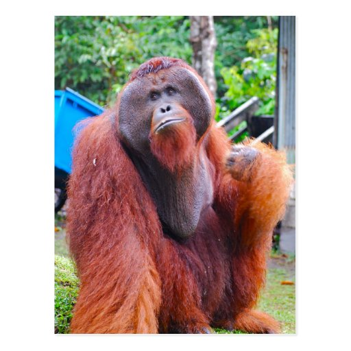 Orangutan King King Orangutan Tom at ...