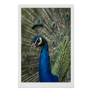 King Peacock Poster
