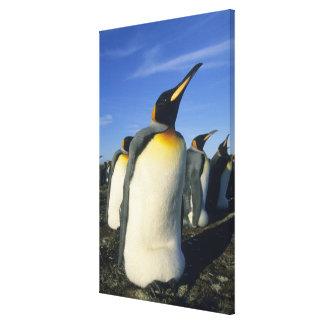 King Penguin, (Aptenodytes patagonicus), 2 Canvas Print