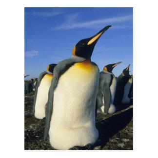 King Penguin, (Aptenodytes patagonicus), 2 Postcard
