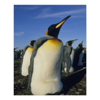 King Penguin, (Aptenodytes patagonicus), 2 Poster
