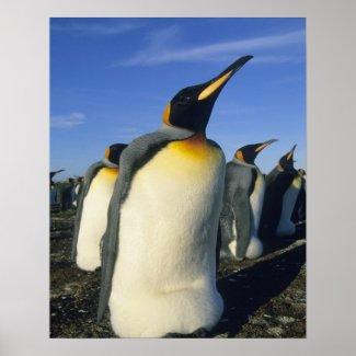 King Penguin, (Aptenodytes patagonicus), 2 Posters