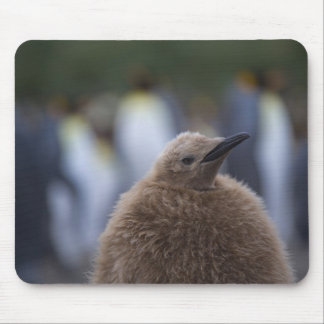 King Penguin (Aptenodytes patagonicus) chick, Mouse Pad