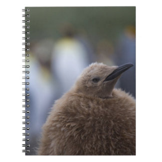 King Penguin (Aptenodytes patagonicus) chick, Notebook