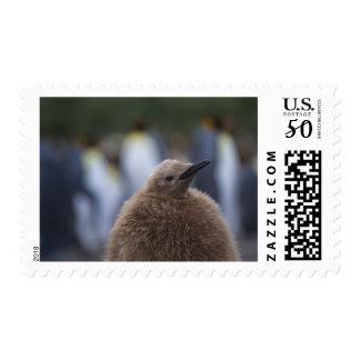 King Penguin (Aptenodytes patagonicus) chick, Postage